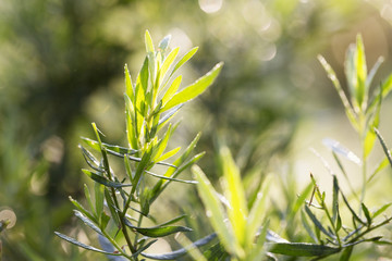Tarragon plant, Artemisia dracunculus, growing in herb garden, in early morning light