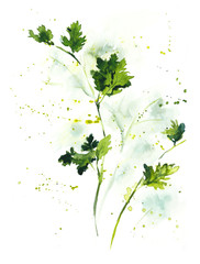 Parsley, cilantro. Watercolor hand drawn illustration