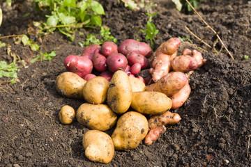 Frisch geerntete bunte Kartoffeln auf einem Kartoffelbeet in einem Garten
