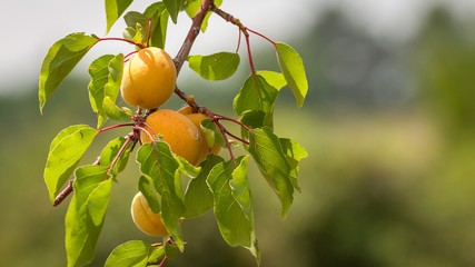Bunch of ripe apricots on a branch on a sunny day.