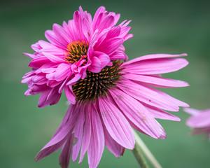 Doubledecker Pink Cone Flower