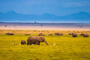 Wall Mural - African elephant with an elephant calf. The elephant is walking along the swamp. An elephant against the background of Mount Kelimanjar