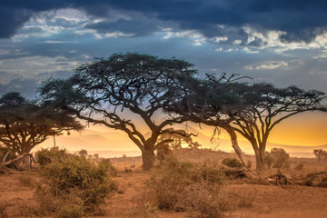 Wall Mural - Evening in the African savannah. The foot of Mount Kilimanjaro.