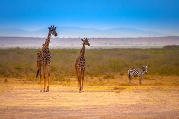 Two giraffes. African giraffes.