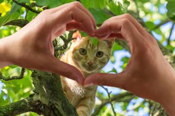 hands in the form of heart against young red kitten on a tree