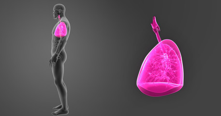 Lungs zoom with organs lateral view