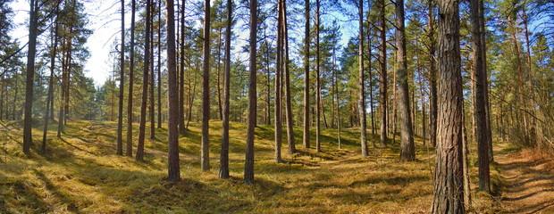 Fototapeten Wald Pine forest