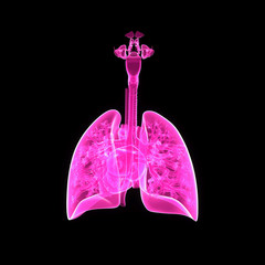 Lungs and Heart posterior view