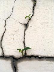 banyan tree on the crack wall
