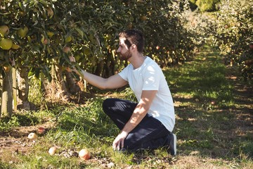 Male farmer examining apple tree