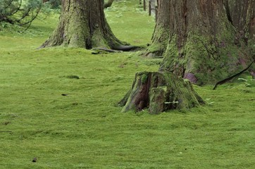 杉の大木と緑の苔
