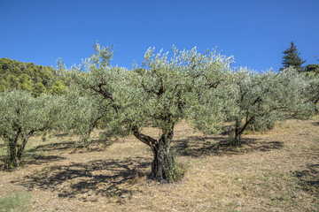 olive trees grow in the provence near Nyons