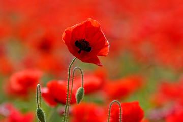 Keuken foto achterwand Rood Poppy field near Uzhgorod, Transcarpathia, Ukraine