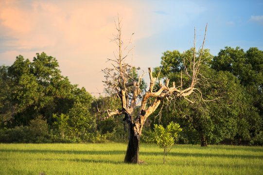 The tree hit by lightning. Dry dead trees in the middle of a wide field.