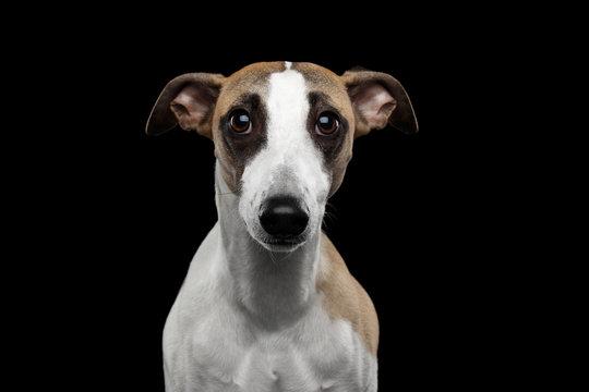 Sad Portrait of Whippet Dog on Isolated Black Background