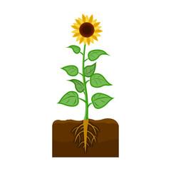 Sunflower, single icon in cartoon style.Sunflower vector symbol stock illustration web.