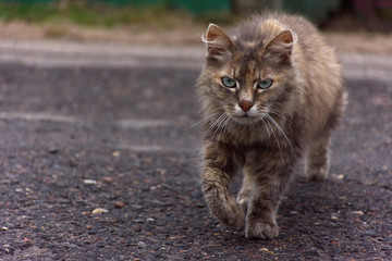 Grey street cat walks across the road