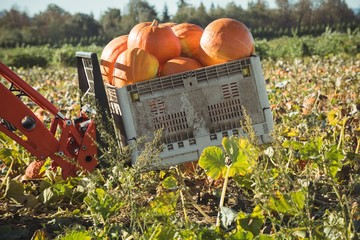 Pumpkins crate in farm tractor