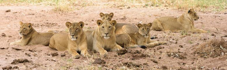 Löwenfamilie im Sand ausruhend, Panorama