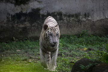bengal tiger white rare color