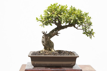Common box (buxus sempervirens) bonsai on a wooden table and white background