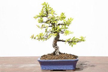 Chinese elm (Ulmus parvifolia) bonsai on a wooden table and white background