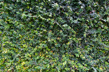 close up of Green leaves for texture abstract background