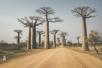Avenue of the Baobabs, Allée des baobabs, Morondava, Madagascar