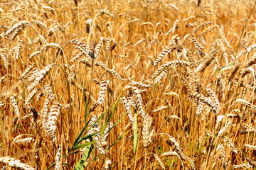 Harvesting time. Grains plains in the plains. Typical rural landscape in the plains of Transylvania, Romania