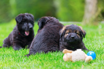 Old German Shepherd puppies on the lawn