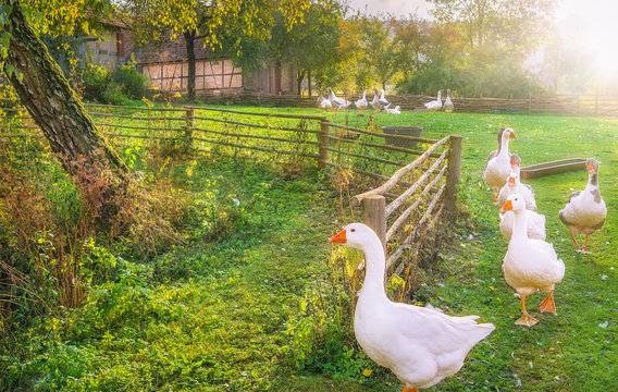 Gaggle of geese exiting a yard - Rustic landscape illustrating the charm of countryside life, with a flock of white geese coming out of the yard, in a single row.