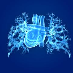 Heart posterior anterior view