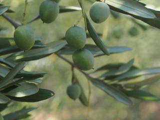 Mandelbaum mit Mandelfrüchten