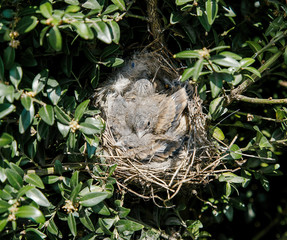 Small birds in the nest