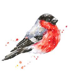 Bullfinch. Red bird illustration