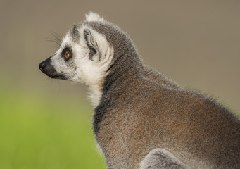 Lemur with striped tail in sunny evening