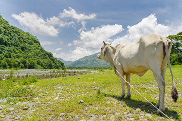 white cattle in the Valley
