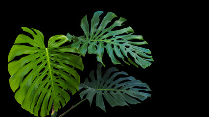 Large green leaves of monstera or split-leaf philodendron (Monstera deliciosa) the tropical foliage plant growing in wild on black background.