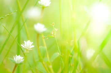 white Grass flower on ground,nature background,macro background,select focus