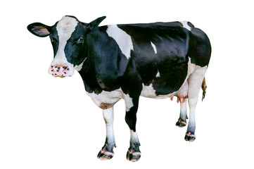 Cow isolated on white background.
