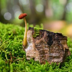 phaeomarasmius mushroom