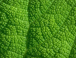 Coarsely Textured Leaf of a Tropical Plant in Extreme Closeup