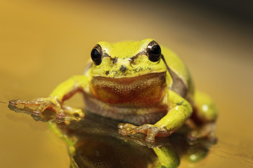 close up of a curious green tree frog