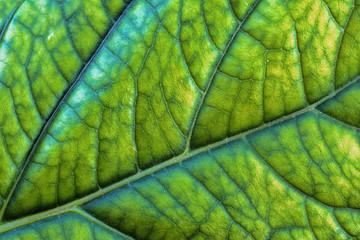 detail on hortensia leaf