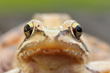macro portrait of european grass frog