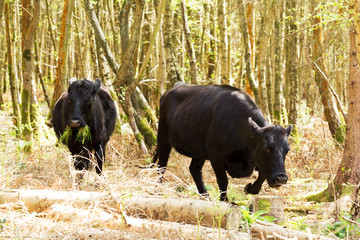 Cows grazing in english woodland during spring