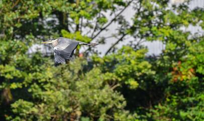 Airone cenerino in primo piano che vola nel bosco