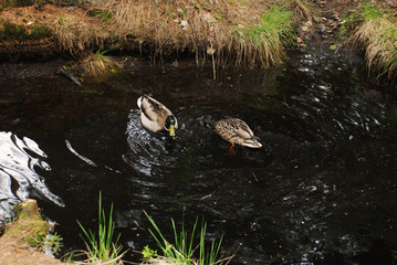 Photos of a duck swim in the forest lake a grass and canes