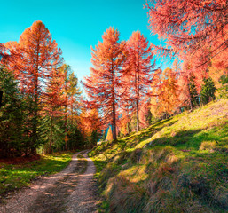 Colorful morning view in larch forest