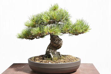 Pinus pentaphylla bonsai on a wooden table and white background